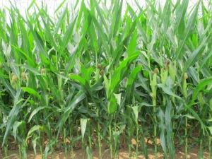 Pennsylvania Corn